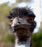 To answer what is emu oil, first ask, what is an emu?